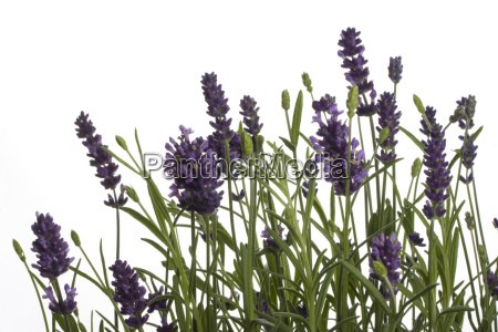 lavender, isolated, on, white, background - 1406317
