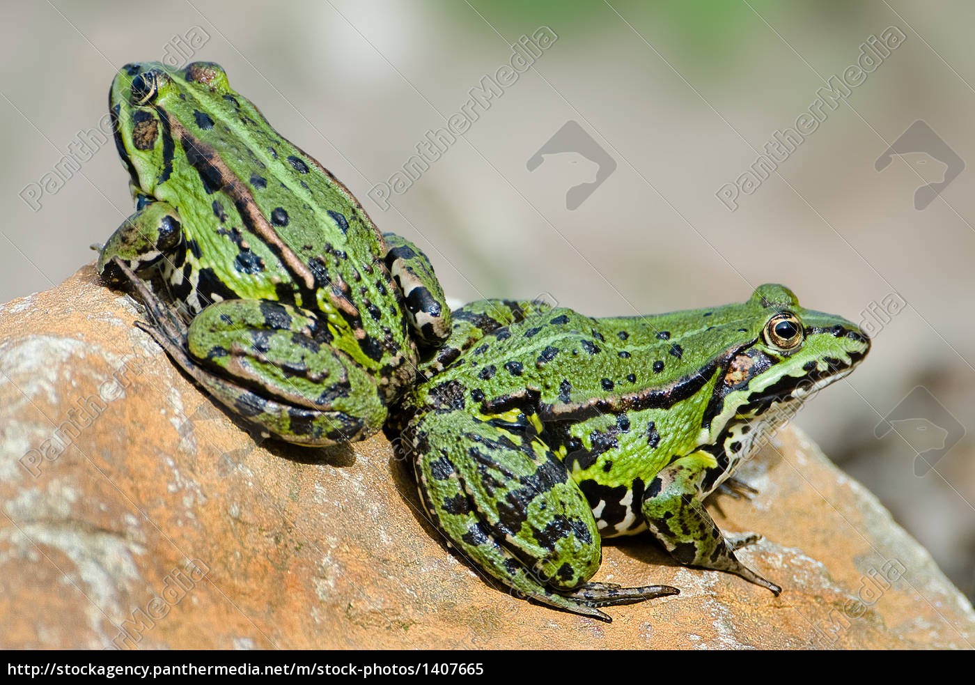 water, frogs - 1407665