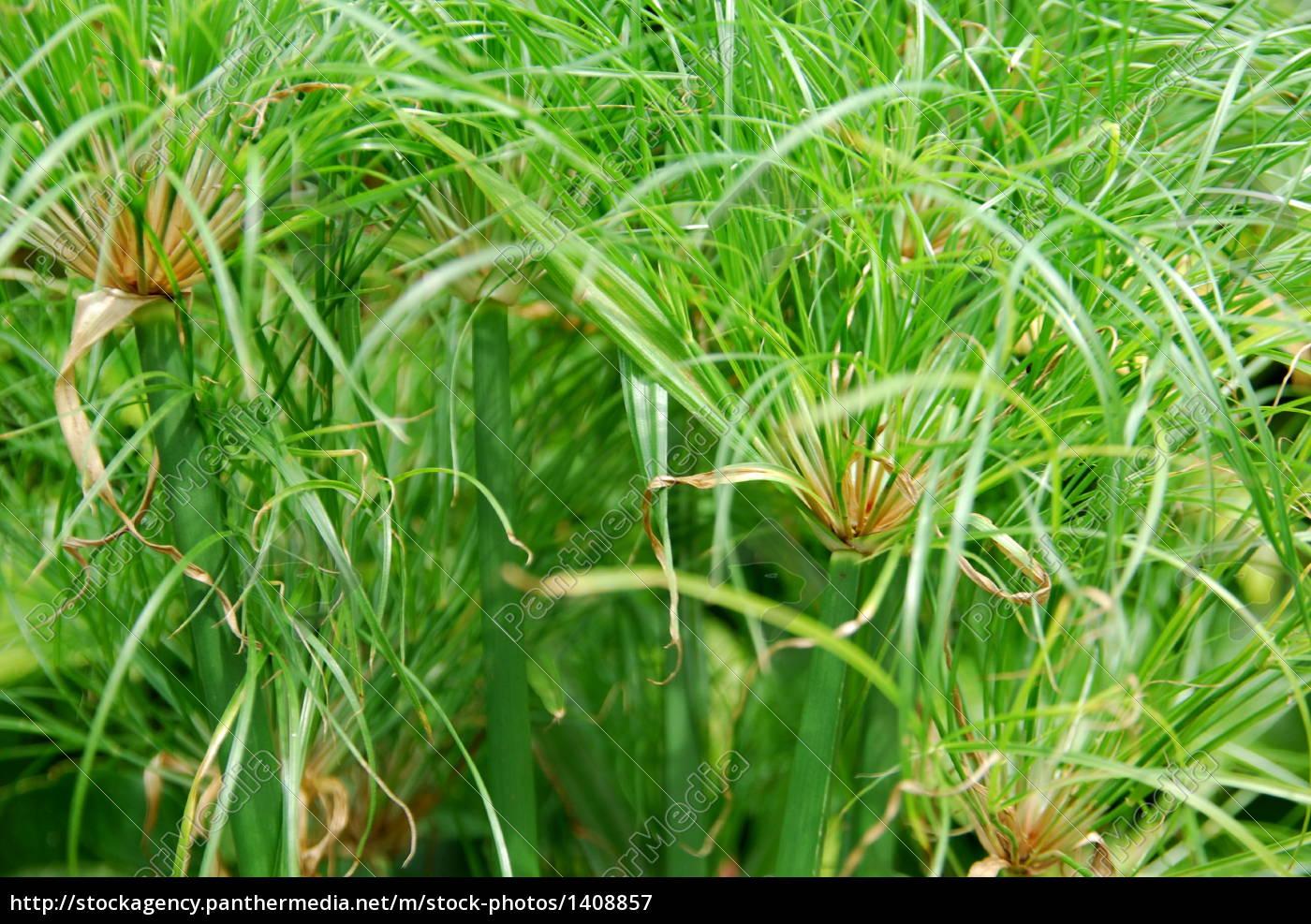 genuine, papyrus, plant, (cyperus, papyrus) - 1408857