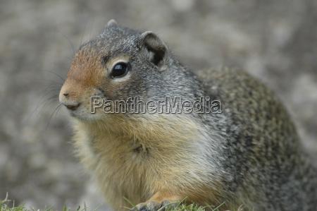 parry ground squirrel