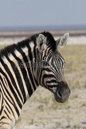 portrait of a burchells zebra