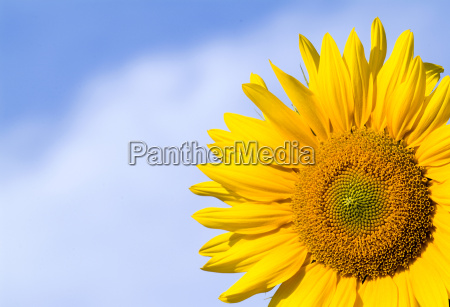 sunflower - 1431305