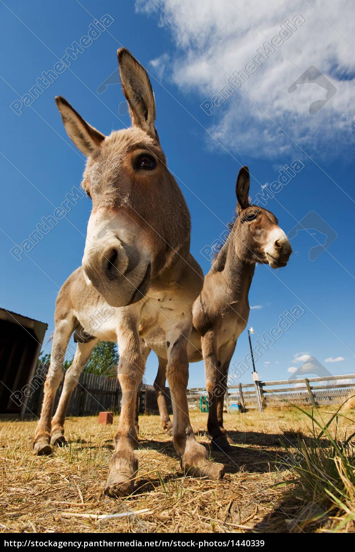 two, donkeys - 1440339