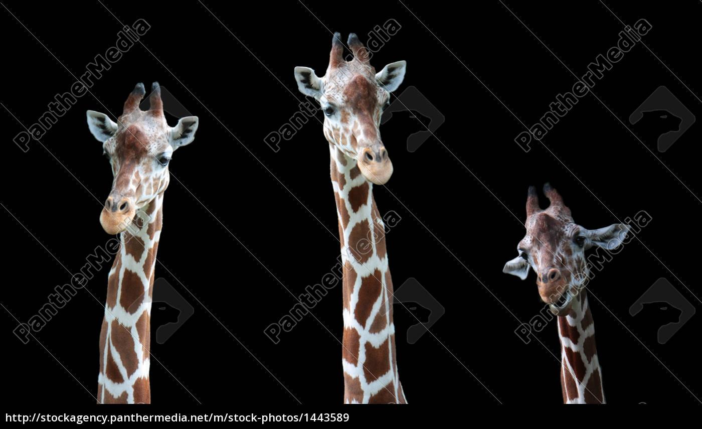 giraffe, family - 1443589