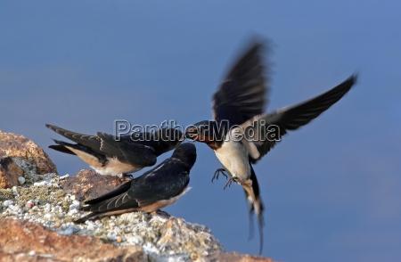 barn swallow feeding by air