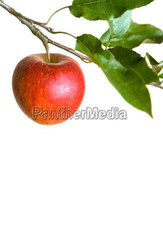 apple, on, a, branch - 1457537