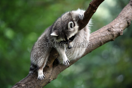 racoon - 1460475