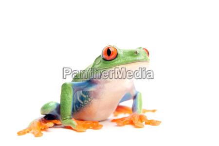 animal, amphibian, green, frog, maddening, pert - 1464145