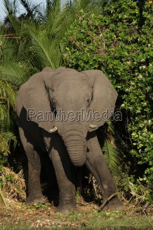 elephant in the okavango delta botswana