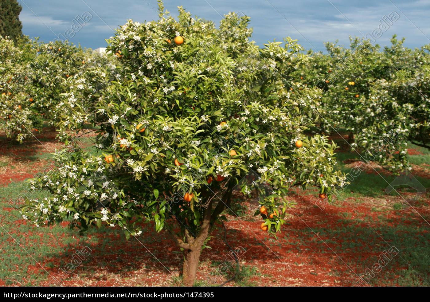 orange, plantation - 1474395