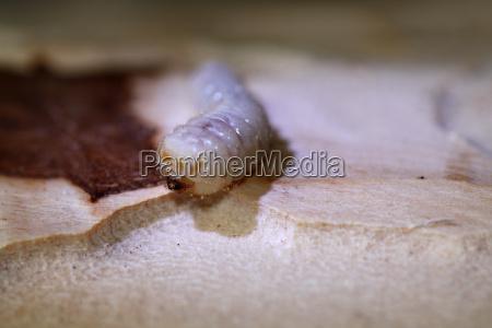 bark beetle larva