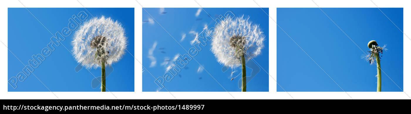dandelion - 1489997