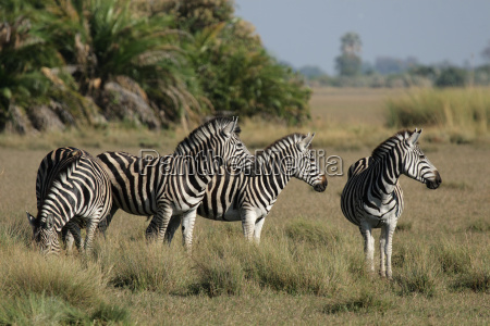 steppe zebras in the okavango delta