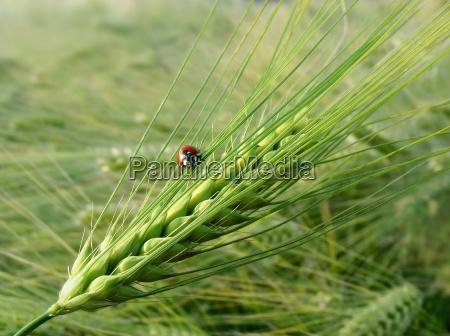 barley with ladybug