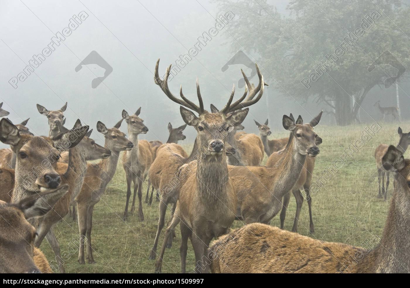 hirsch, with, deer - 1509997