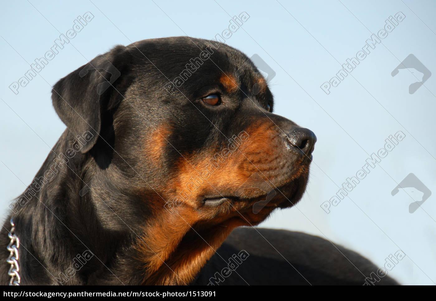 rottweiler - 1513091