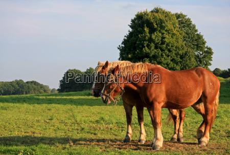 horse animal strong farm animal mane