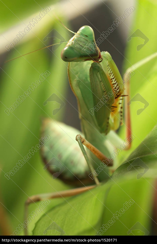 young, indian, mantis - 1520171