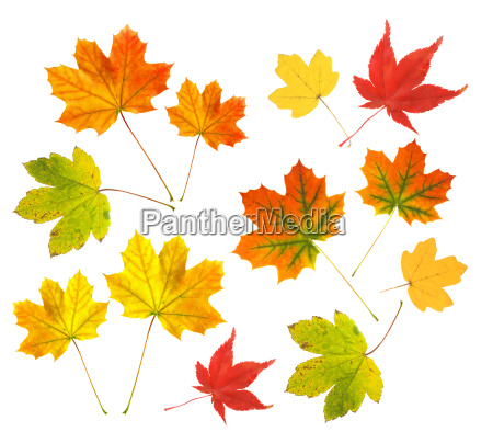 autumn, leaves, on, a, white, background - 1523903