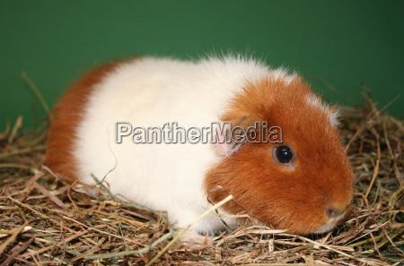 us teddy guinea pig in hay