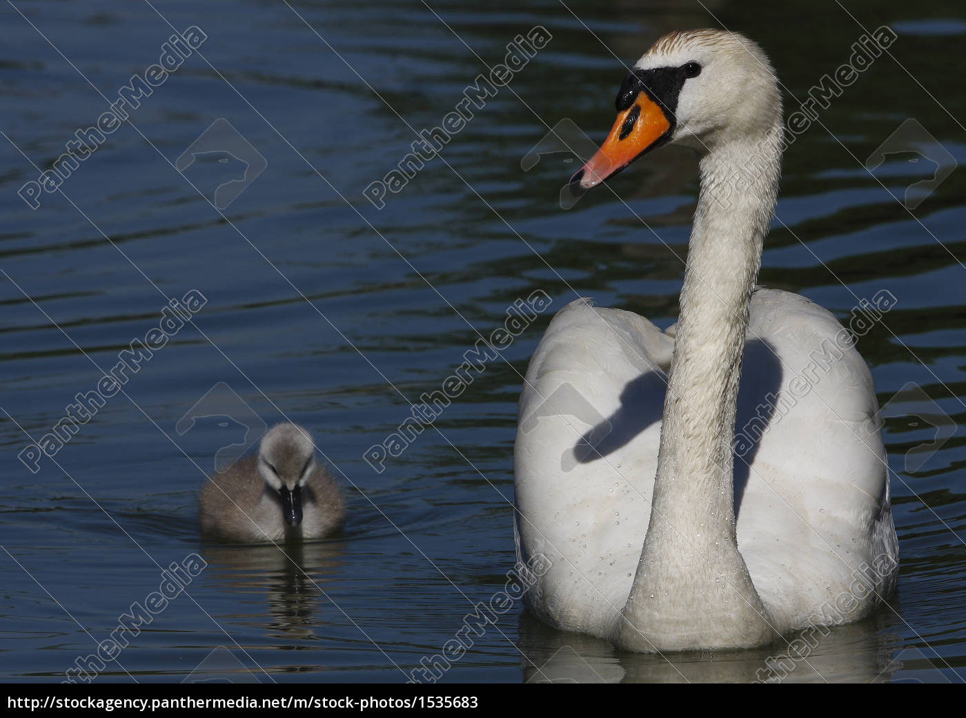 swan, with, young, animal - 1535683