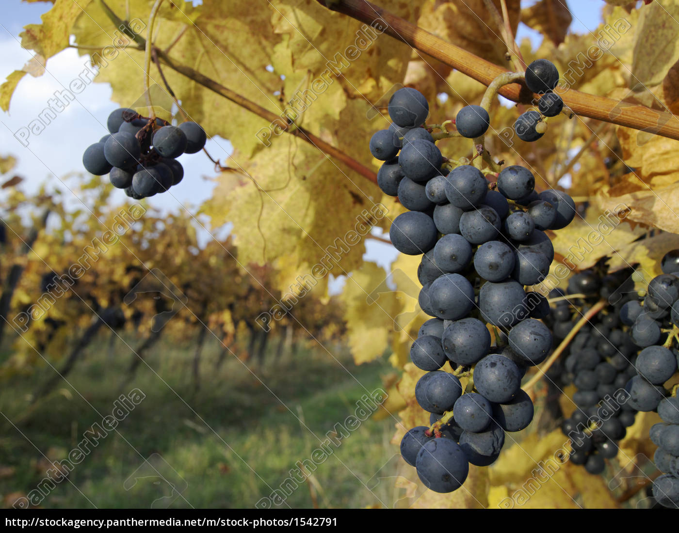 grapes - 1542791