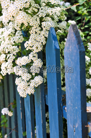 blue, fence, with, white, flowers - 1552179
