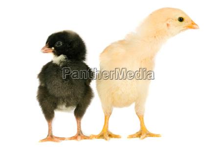 two, little, chicken - 1554839