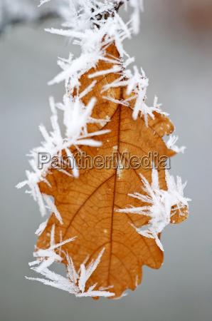 winterblatt eiche