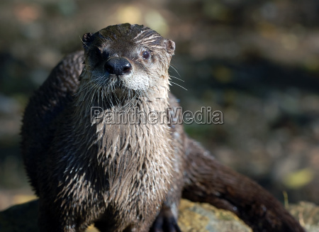 northern river otter lontra canadensis