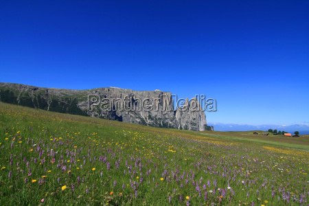 orchids on the alpine pasture