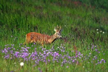 rehbock wildlife