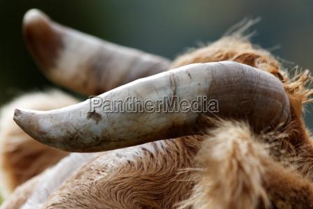 horns of a bull