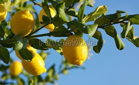 lemons, on, lemon, tree. - 1585289