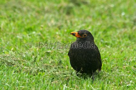 blackbird with prey