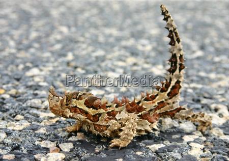 moloch horridus aka thorny devil