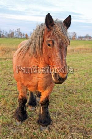 horse animal strong portrait stallion haflinger
