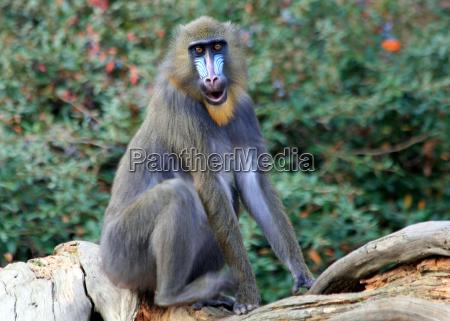 animal male masculine monkey eyes look