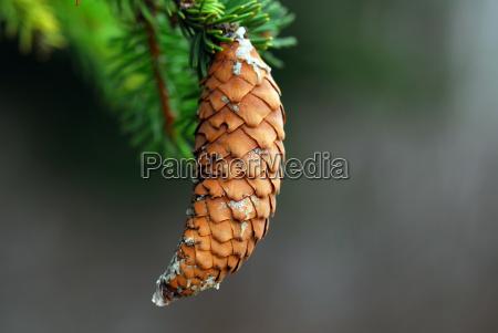 pine, cone - 1604203
