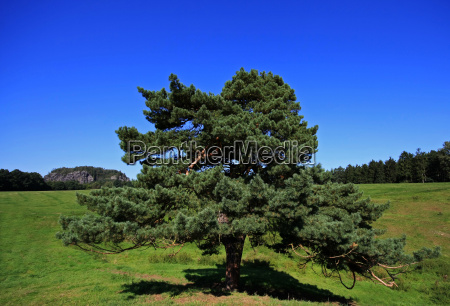 magnificent pine trees