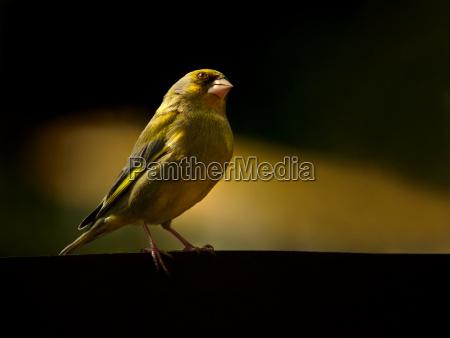 small kesser greenfinch