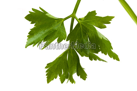 closeup of a parsley leaf isolated
