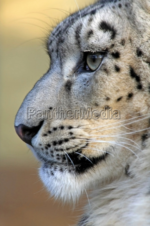 the snow leopard profile