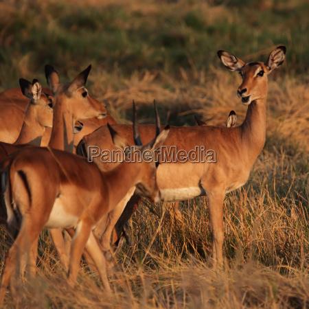 a herd of impalas aepyceros melampus