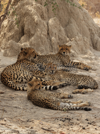 a cheetah family rests in the