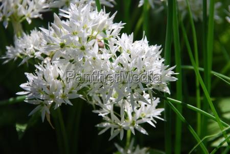 wild garlic allium ursinum