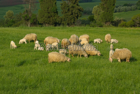 sheep in the meadow sheep