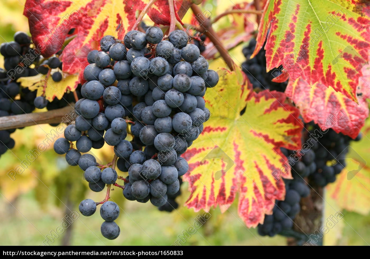 grapes - 1650833