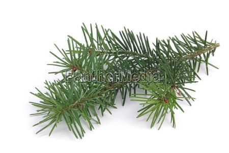 tannenzweig fir branch 04
