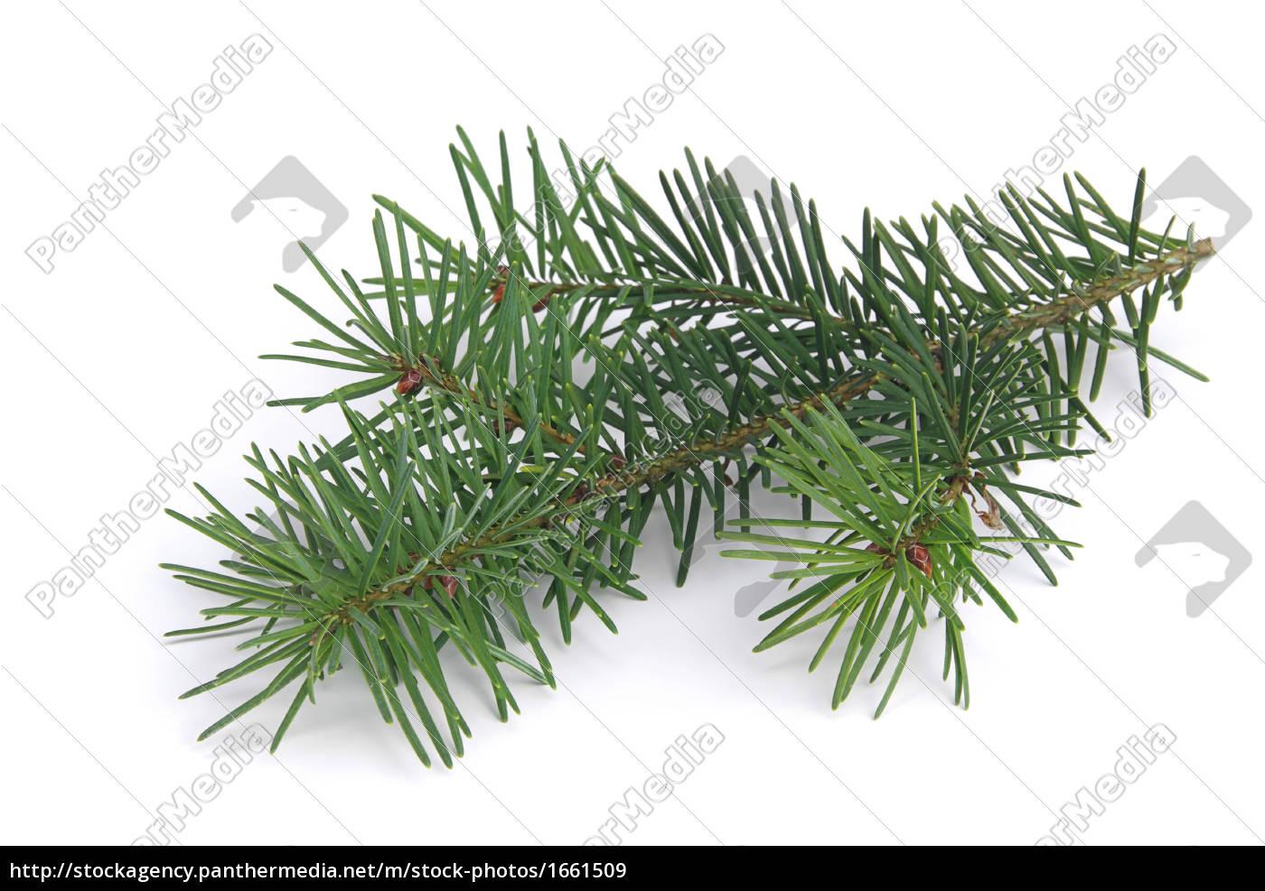 tannenzweig, -, fir, branch, 04 - 1661509